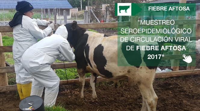 Se adelanta campaña de vacunación contra la fiebre aftosa en provincias fronterizas con Colombia